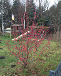 Malus Red Juvel