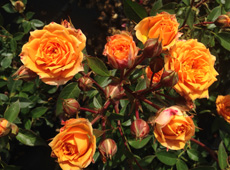 Rosa Golden Lady